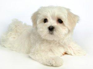 安卓萌宠 动物 可爱 萌物 宠物 汪星人手机壁纸