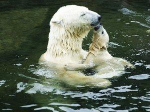 安卓萌宠 极地物种 北极熊 可爱手机壁纸