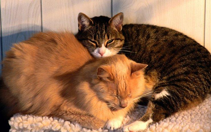 壁纸 动物 猫 猫咪 小猫 桌面 740_463