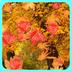 3D秋天枫叶动态壁纸 安卓最新官方正版